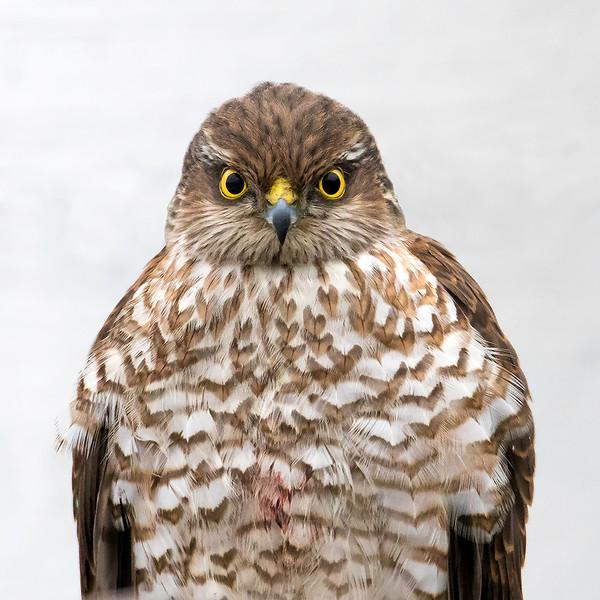 Spurvehauk / Sparrow Hawk<br /> Linnesstranda, Lier 15.2.015<br /> Canon 7D Mark II + Tamron 150 - 600 mm 5,0 - 6,3