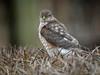 Spurvehauk / Sparrow Hawk<br /> Linnesstranda, Lier  28.2.015<br /> Canon 7D Mark II + Tamron 150 - 600 mm 5,0 - 6,3  @ 483 mm