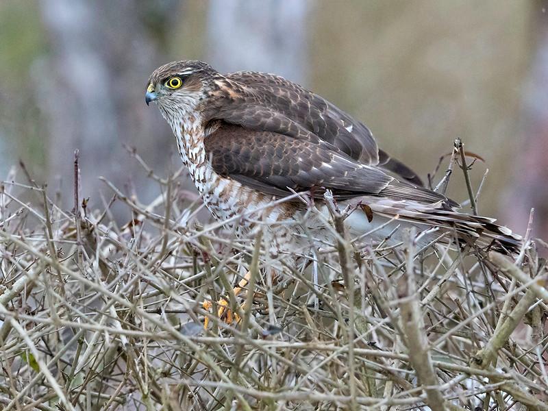 Spurvehauk / Sparrow Hawk<br /> Linnesstranda, Lier 15.2.015<br /> Canon 7D Mark II + Tamron 150 - 600 mm 5,0 - 6,3  @ 250 mm