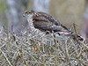 Spurvehauk / Sparrow Hawk<br /> Linnesstranda, Lier 15.2.015<br /> Canon 7D Mark II + Tamron 150 - 600 mm 5,0 - 6,3  @ 250 mm