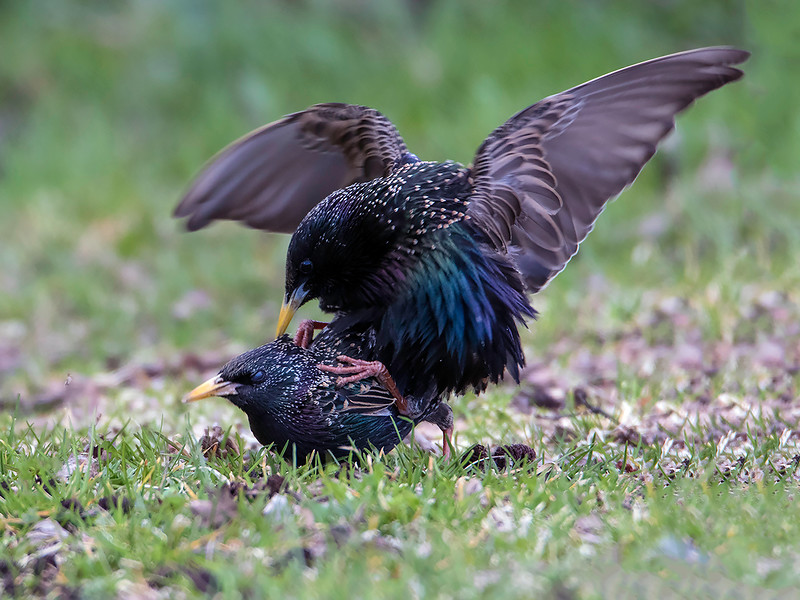 Stær / European Starling<br /> Linnesstranda, Lier 26.4.2015<br /> Canon 7D Mark II + Tamron 150 - 600 mm 5,0 - 6,3