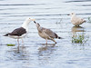 Svartbak / Great Black-backed Gull<br /> Linnesstranda, Lier 16.8.2014<br /> Canon EOS 7D + Tamron 150 - 600 mm 5,0 - 6,3