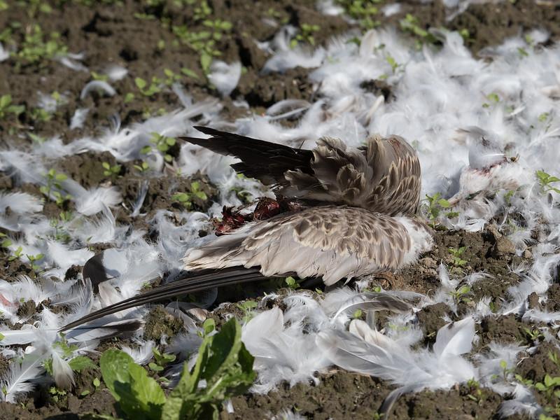 Fiskemåke ribb / Mew gull ribbed<br /> Linnesstranda, Lier 8.8.2015<br /> Canon 7D Mark II + Tamron 150 - 600 mm 5,0 - 6,3 @ 256 mm