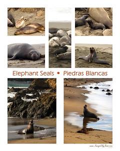 12-2009 Elephant Seals 16 x 20-white