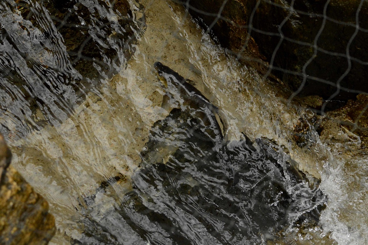 The bottom rung of the fish ladder is a small challenge for these anadromous fish.