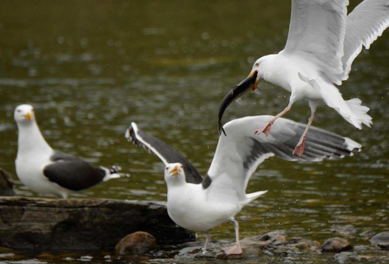 strategic notes: do not fly your catch past a Black-backed Gull.