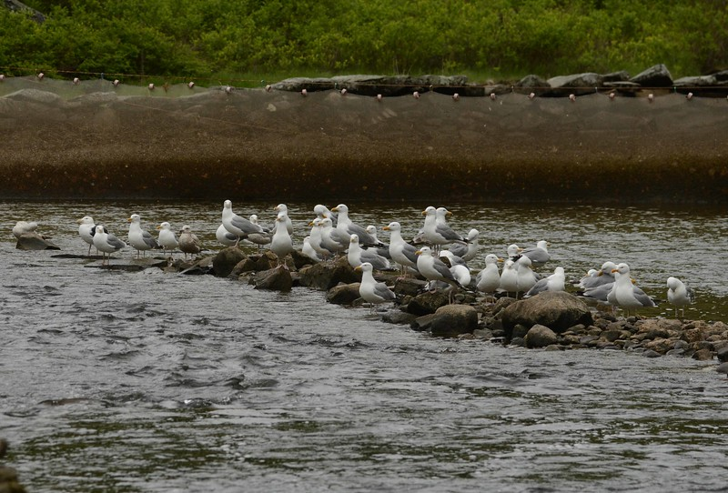 After passing cormorants, eagles, osprey, and harbor seals, the final and shallowest stretch of their spawning run passes a gauntlet of mostly Herring Gulls.