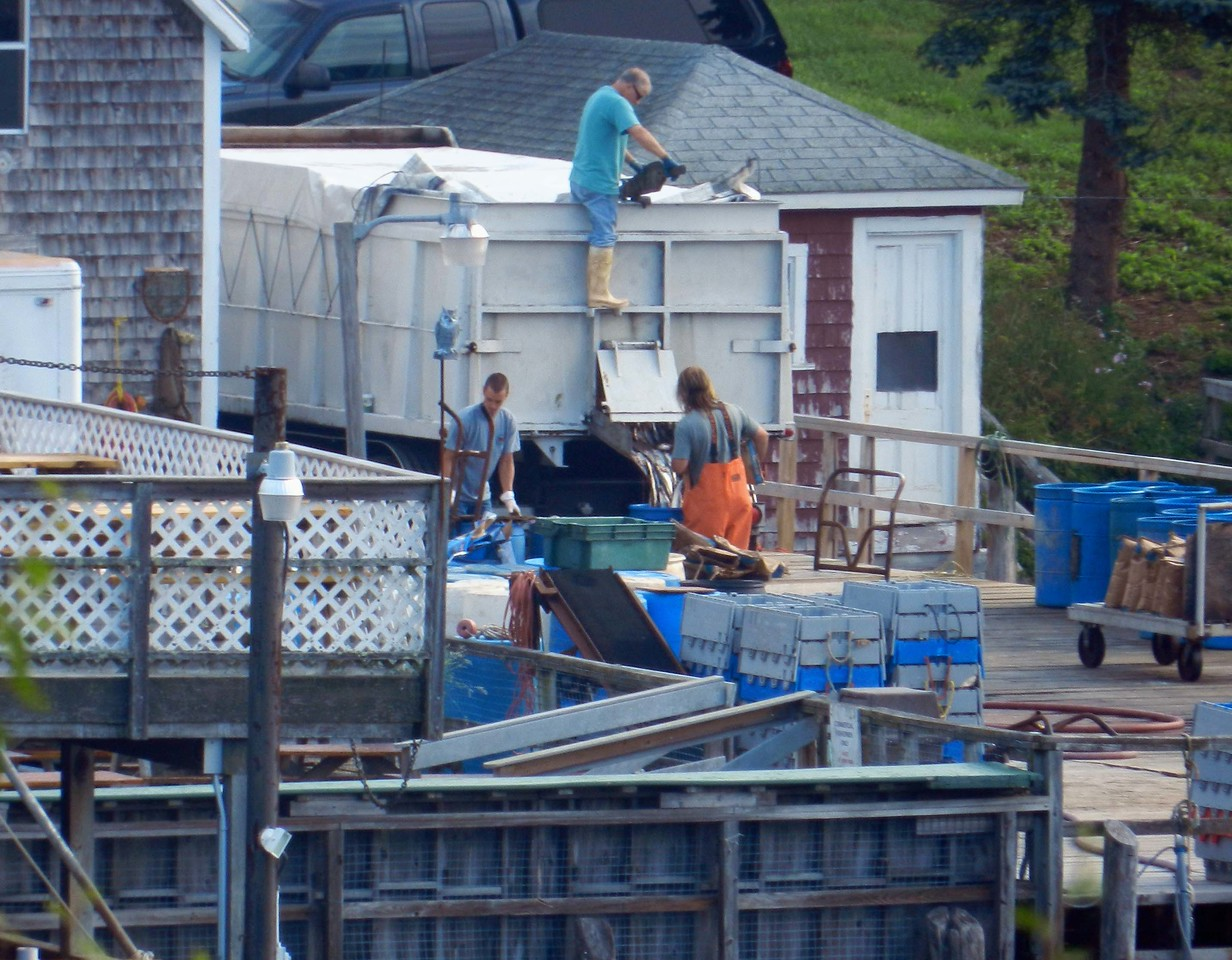 Alewives have been used for lobster bait pretty much since there have been lobster pots.