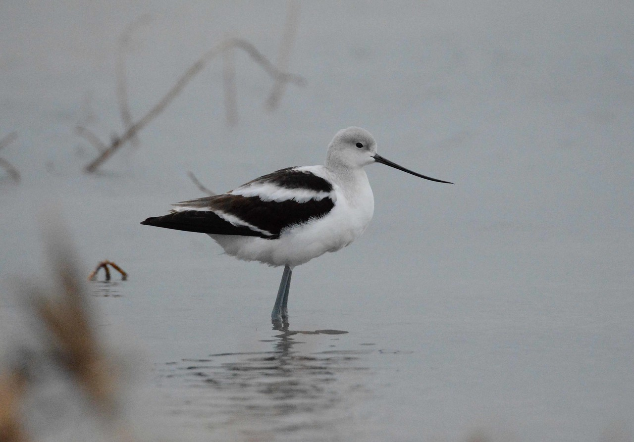 American Avocet -- Recurvirostra americana, on a Chicago lakefront migratory stopover.