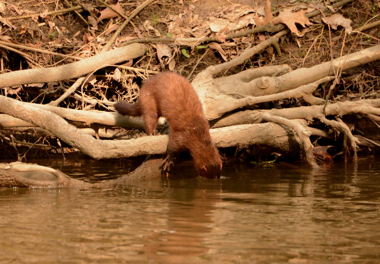 "The mink's adept hindquarter/tail balance and coordination allows the hunter to slip into the water with minimal splash and sound.<br /> <br /> 'Knowing not what was to come<br /> man wasted water<br /> His fate laughed at him<br /> as it would cause his slaughter.' ~ from ""The Matter of Water"" by Nitheesh Annadanam"