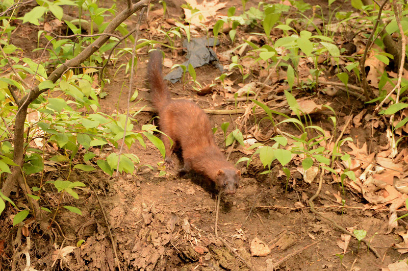 """This series features an American Mink -- Neovison vison, foraging along the Chicago River with """"Poet's Epitaph"""" by William Wordsworth:"""