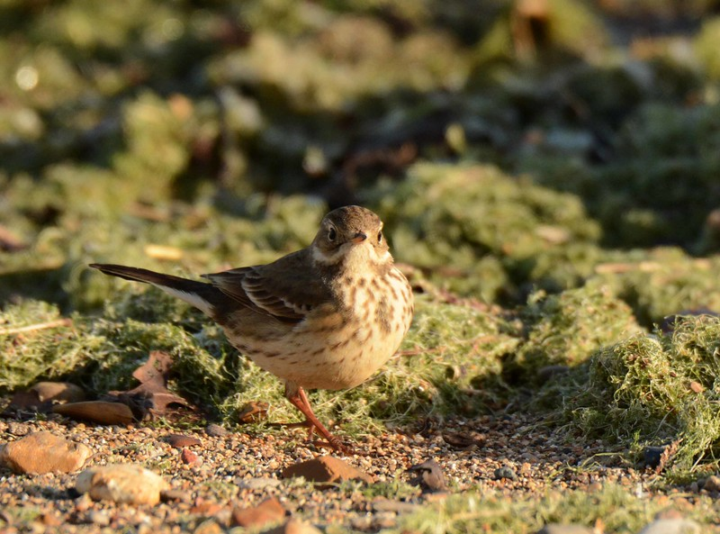 American Pipit -- Anthus rubescens, on migratory stopover at Loyola Beach in Chicago, IL. poem by Judith Wright: