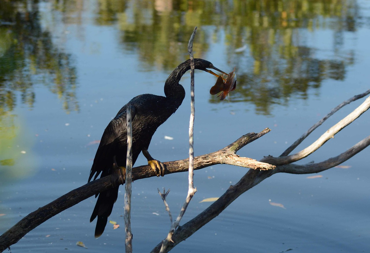 'Part otter, part snake, part bird the bird Anhinga,
