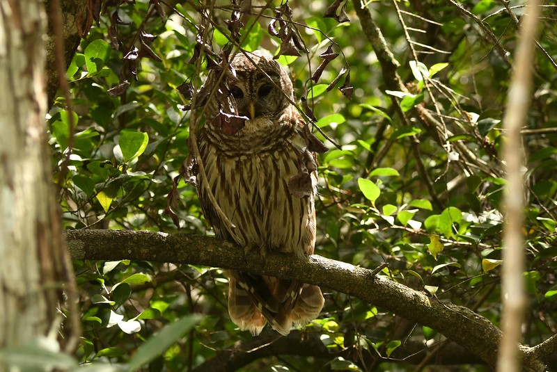 Barred Owl -- Strix varia, spirit the poets, starting with May Swenson:
