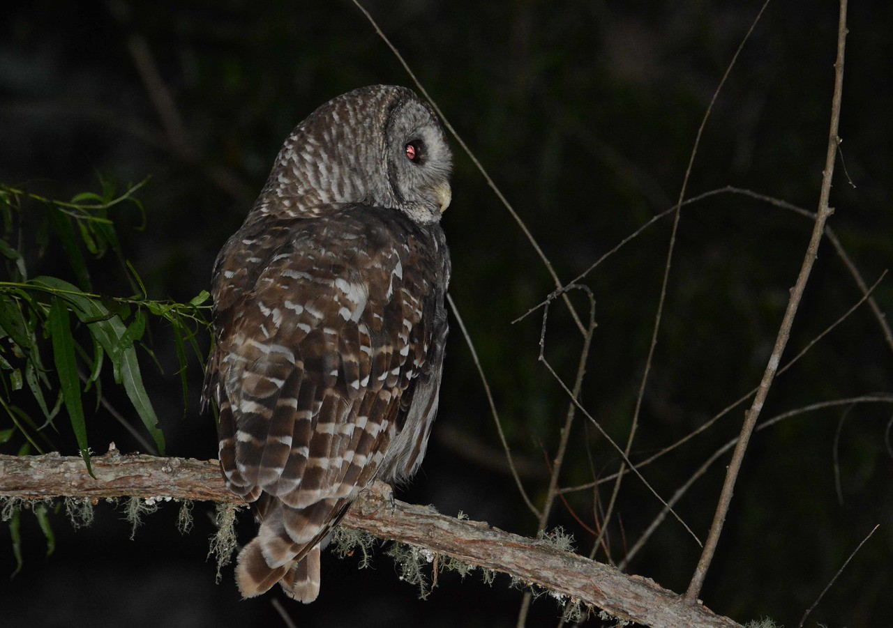 Barred Owl -- Strix varia, on the night watch in Durham County, NC, with a poem by May Swenson: