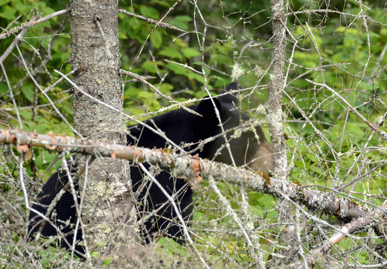 "Black Bear -- Ursus americanus, edging through the dense foliage of Superior National Forest, MN with ""The Heavy Bear Who Goes With Me"":"