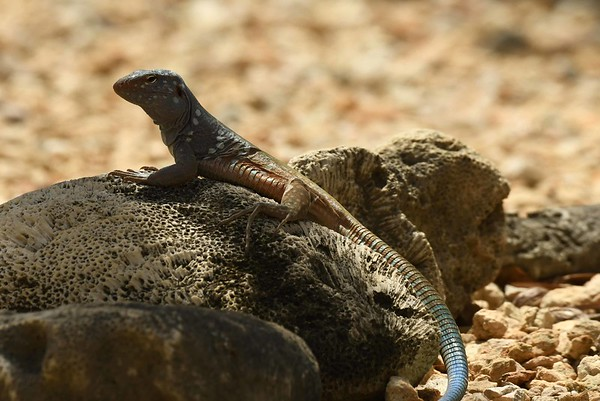 """Blue Whiptail Lizards -- Cnemidophorus murinus ruthveni, review """"Tenderness and Rot"""":"""