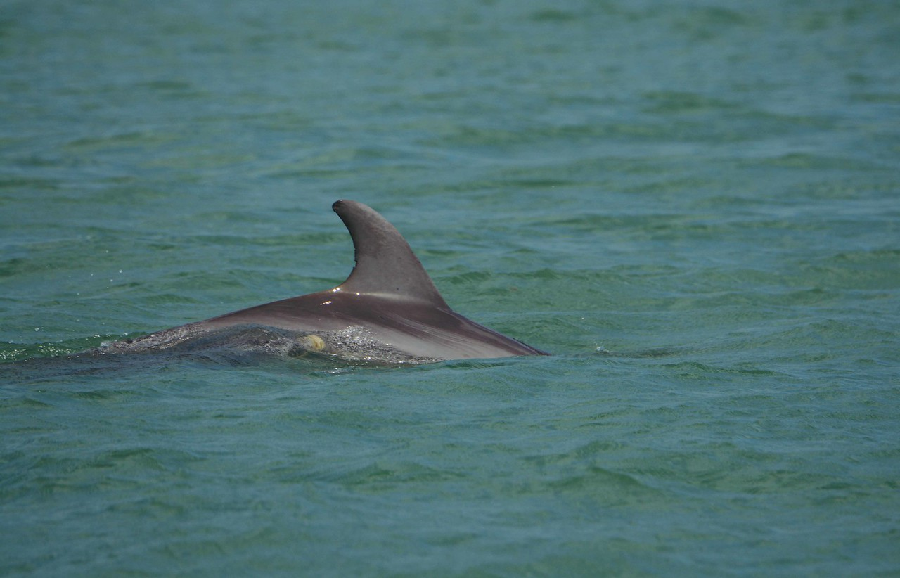 "A 3-yr old calf named Manhattan exhales beside her mother KayCee. They were named by research teams at Naples and Marco Island: <a href=""http://www.dolphin-study.com/"">http://www.dolphin-study.com/</a>"