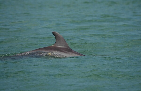 A 3-yr old calf named Manhattan exhales beside her mother KayCee. They were named by research teams at Naples and Marco Island: http://www.dolphin-study.com/