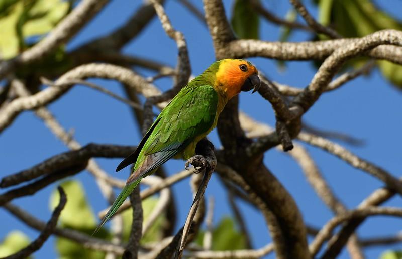 """Prikichi"" aka Brown-throated Parakeet -- Aratinga pertinax, around Bonaire with a poem by Pablo Neruda:"
