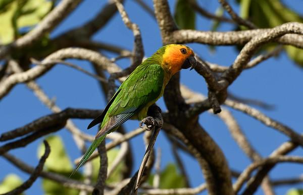"""""""Prikichi"""" or Brown-throated Parakeet -- Aratinga pertinax, around Bonaire with a poem by Pablo Neruda:"""