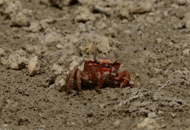 If a love life makes you crabby, our story of the Burger's Fiddler Crabs -- Uca burgesi, may help lift you out of the mud.