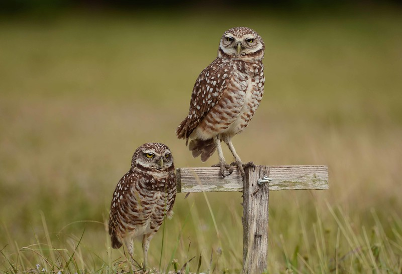 This gallery features Burrowing Owls -- Athene cunicularia.