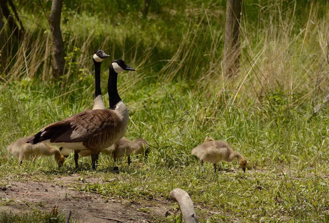 this family-friendly feature creature is the Canada Goose  -- Branta Canadensis, but the subject is play, you silly goose.
