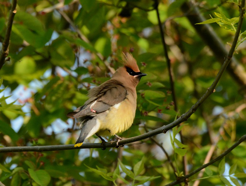 """Cedar Waxwings --Bombycilla cedorum, at the """"Magic Hedge"""" in Chicago, with<br /> """"Not a Day On Any Calendar"""":"""