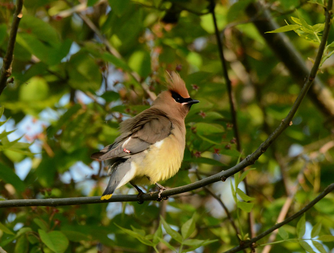"Cedar Waxwings --Bombycilla cedorum, at the ""Magic Hedge"" in Chicago, with<br /> ""Not a Day On Any Calendar"":"