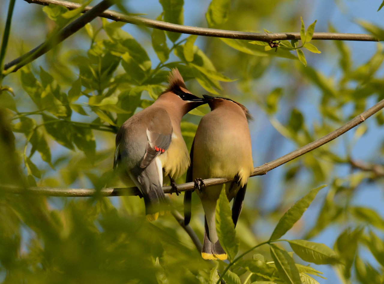 These highly social birds sometimes pass food in a group, but these two passing a petal seem to be engaging in courtship.