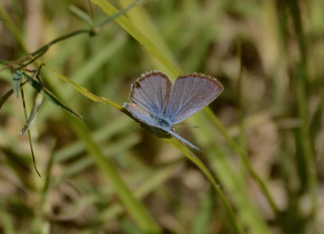 "Ceraunus Blue -- Hemiargus ceraunus, in Lee County, FL with ""The Enamel Girl"" by Genevieve Taggard:"