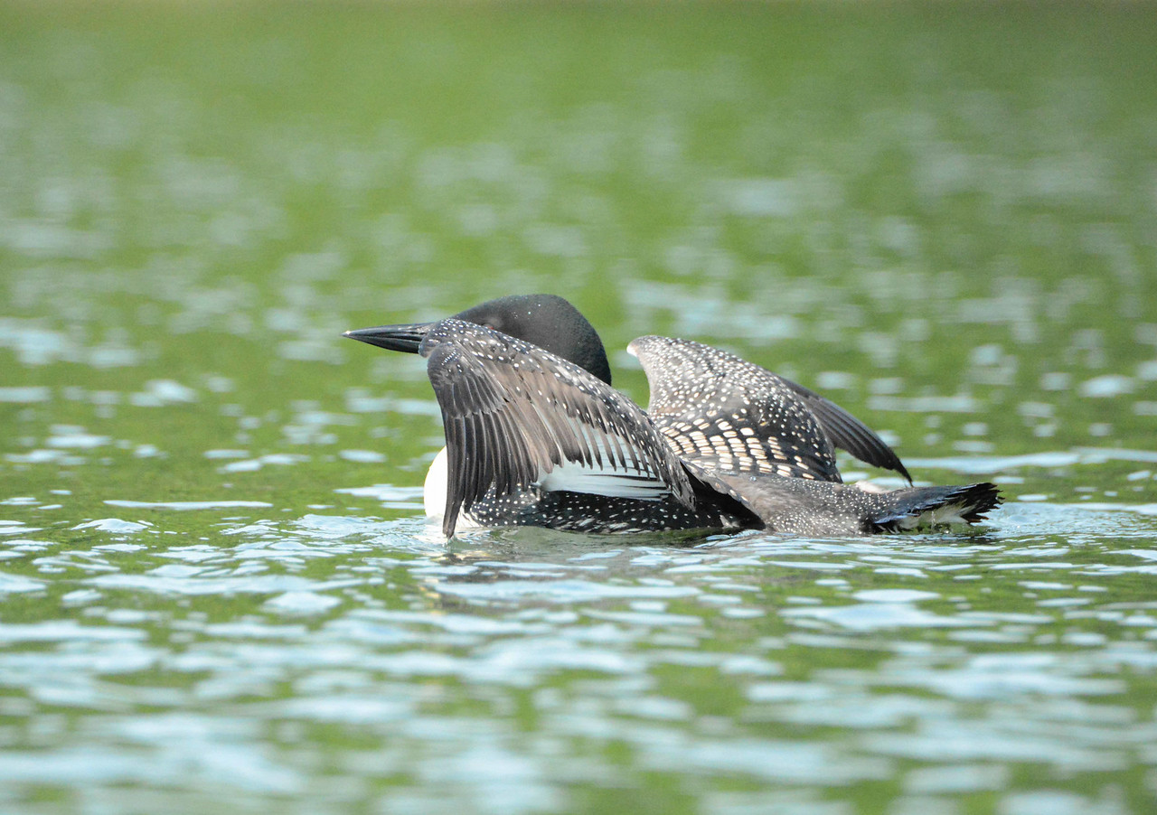 The Loon is an exceptional diver that can control its specific gravity through the compression and expulsion of air trapped in feathers in addition to air held in the lungs.