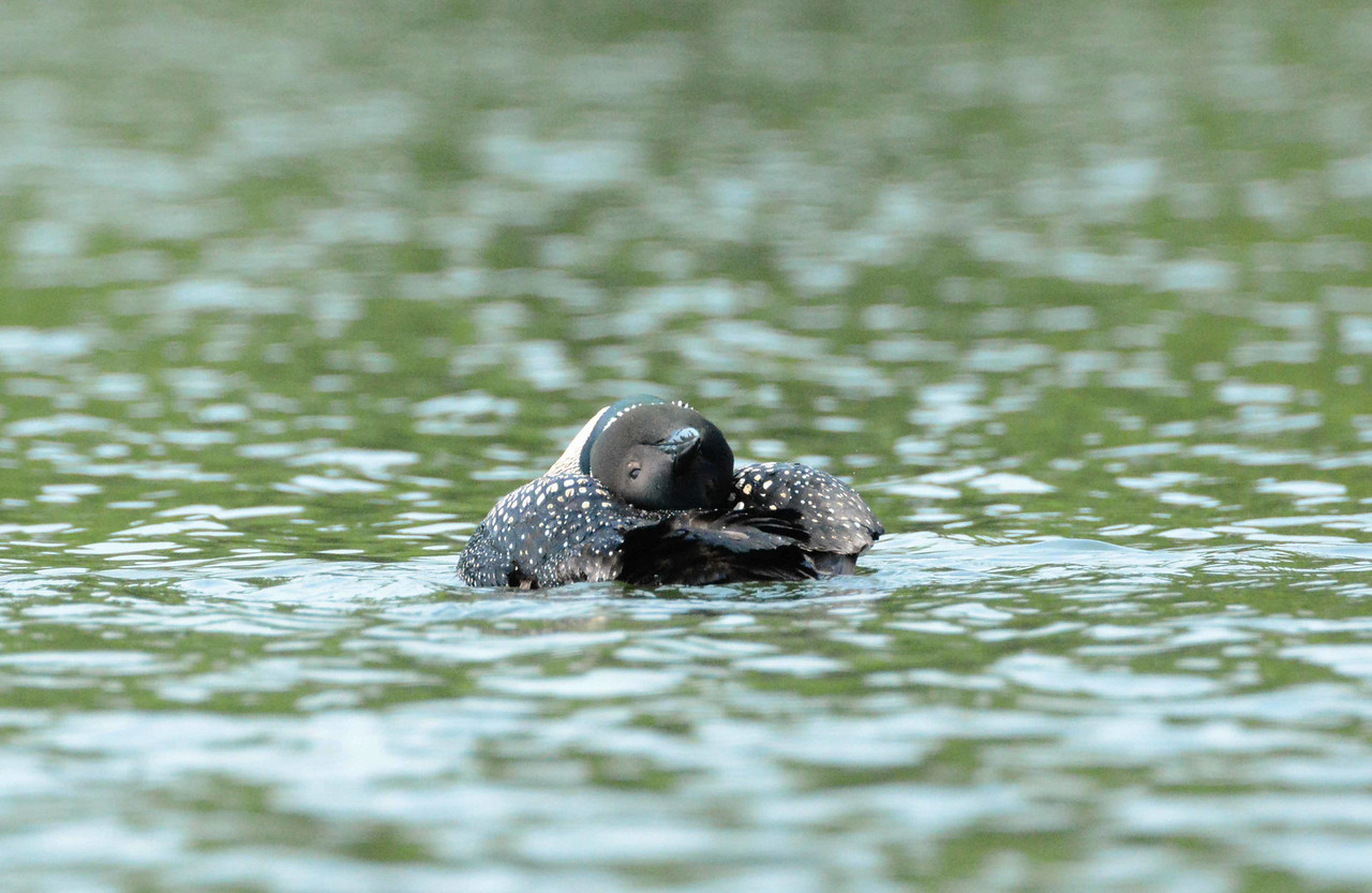 Common Loon -- Gavia immer<br /> <br /> This series begins with some preening shots on the Damariscotta River in Maine.