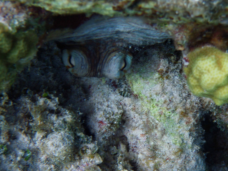Common Octopus -- Octopus vulgaris, a fascinating beauty, peers from a lair on Bonaire.