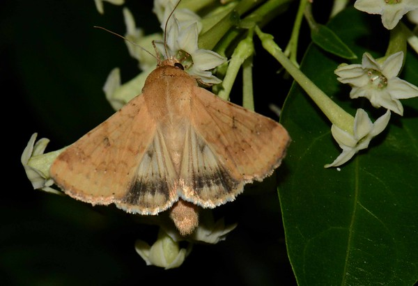 "Corn Earworm Moth -- Helicoverpa zea, Hodges# 11068 MPG 932045, night-feeding on Night-blooming Jasmine -- Cestrum nocturnum, with ""The Strength of Fields"":"
