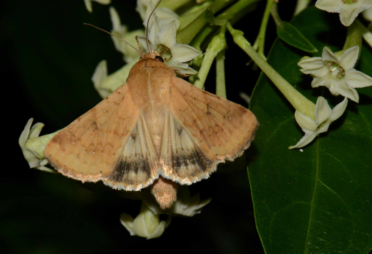 """Corn Earworm Moth -- Helicoverpa zea, Hodges# 11068 MPG 932045, feeding on Night-blooming Jasmine -- Cestrum nocturnum, with """"The Strength of Fields"""":"""