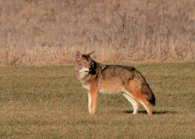 Coyotes -- Canis latrans, recall a poem by Loren Eiseley: