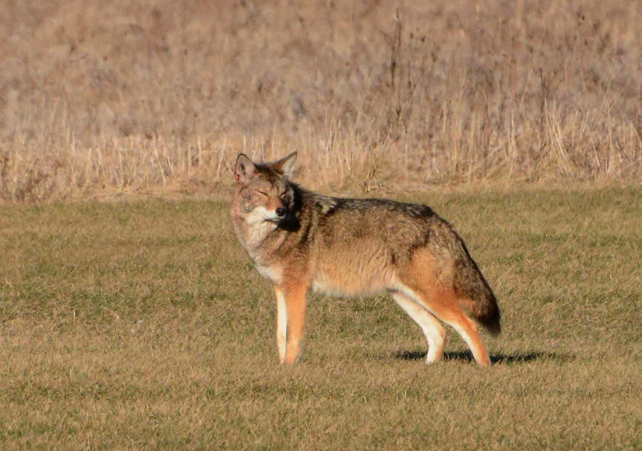 'I have met the echo people, coyotes, <br /> once in my youth, deep in a badland canyon, coming