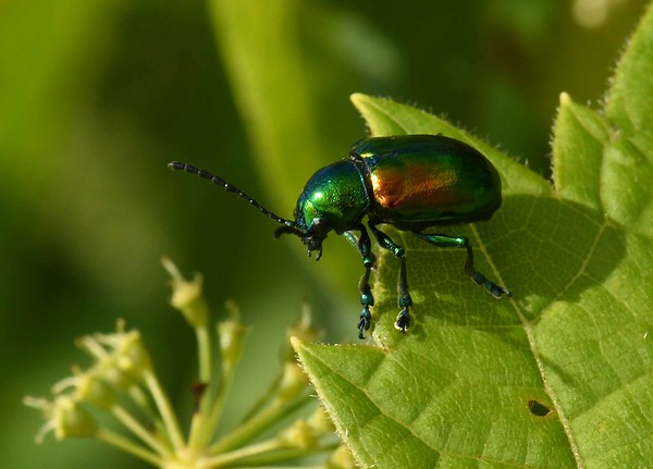 This series features the Dogbane Leaf Beetle -- Chrysochus auratus, and a poem by Philip Levine: