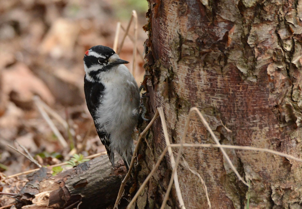 Downy Woodpecker (m) -- Picoides pubescens, working a birch with a poem by Mary Oliver: