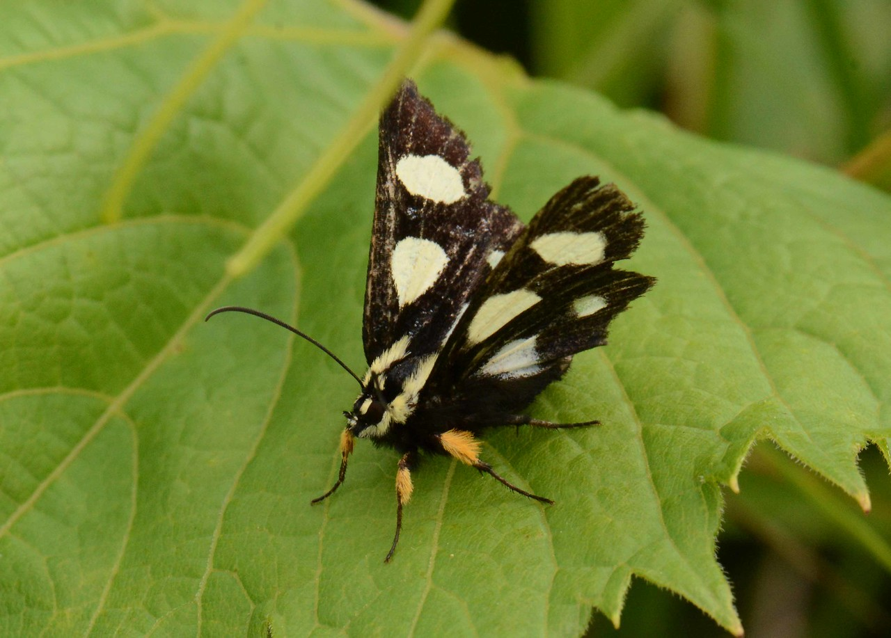 """Eight-spotted Forester -- Alypia octomaculata, Hodges# 9314 MPG 931979, resting on one of Dionysus' grape leaves before nectaring on Bastard Toadflax; """"Buscar"""" by Pablo Neruda:"""