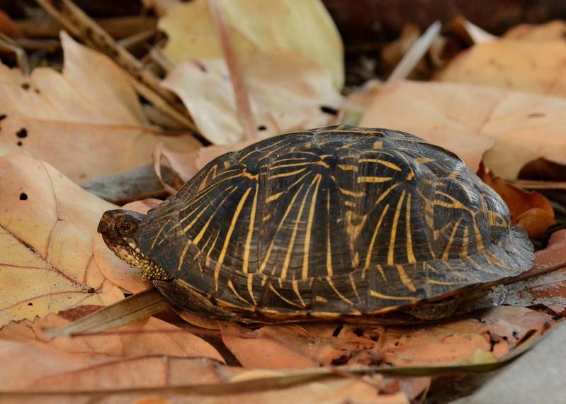 This Florida Box Turtle -- Terrepene carolina bauri, calls Collier County gulf shore scrub what's left of home with a poem by Sakutaro Hagiwara: