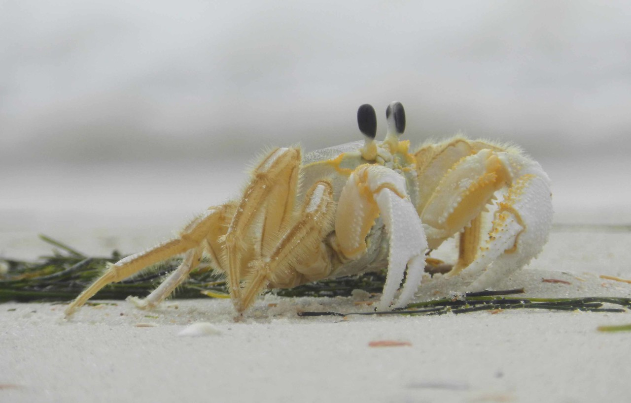 A deft, gold, glossy crab extends