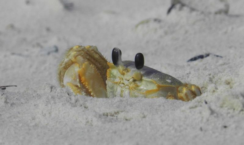"Atlantic Ghost Crab (m) -- Ocypode quadrata, daring the morning shift with ""Vicissitudes of the Creator"":"