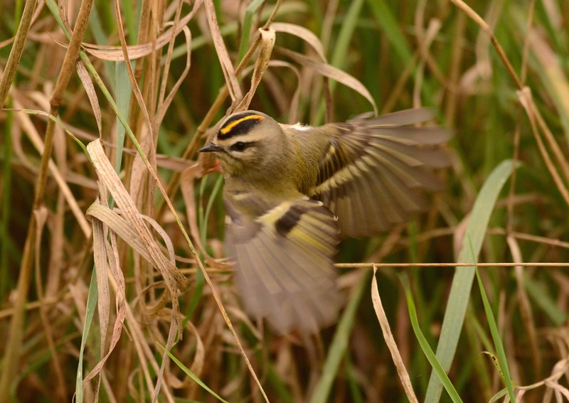 "Golden-crowned Kinglet (m) -- Regulus satrapa, with ""The Mysteries"" by Donald Hall:"