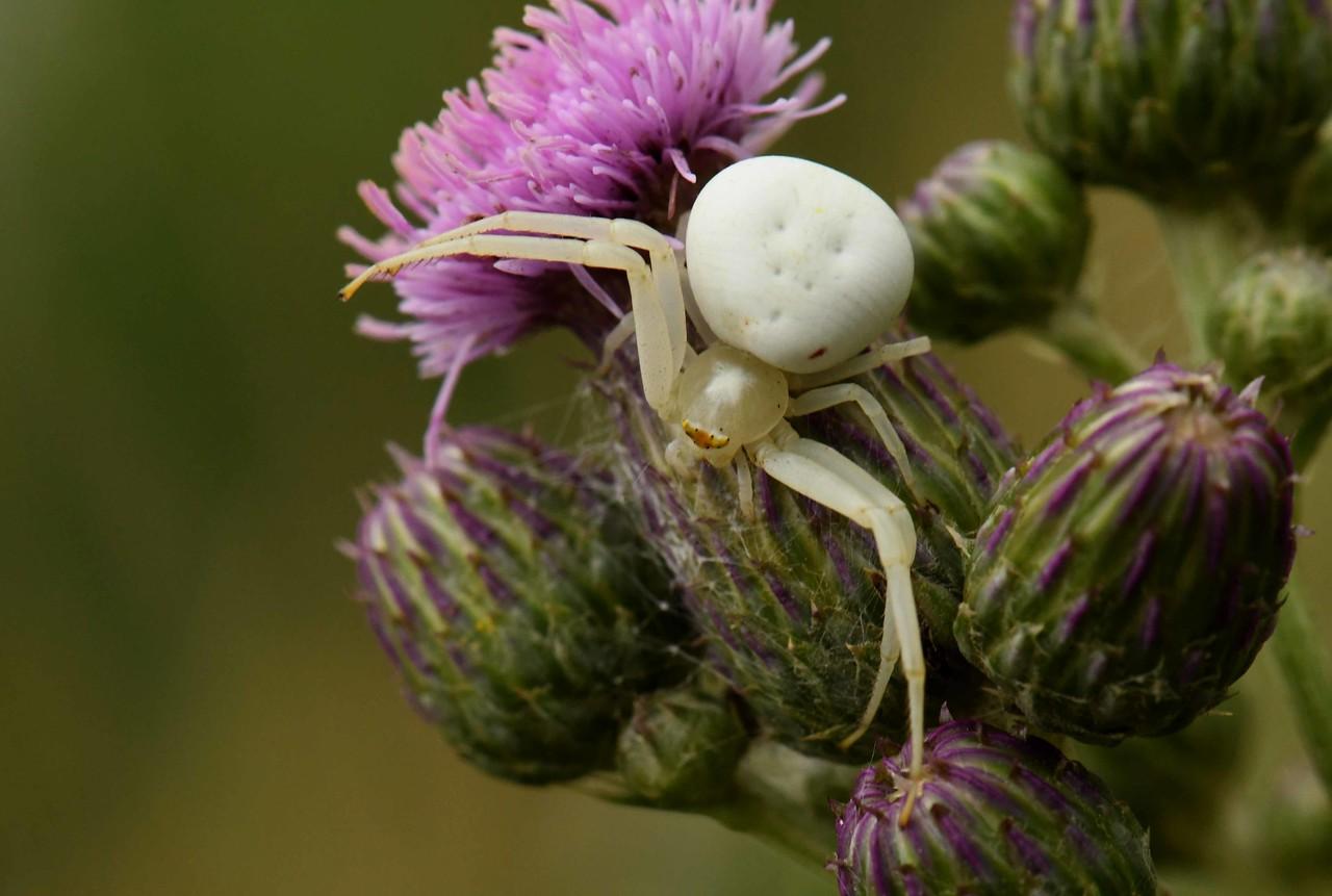Goldenrod Crab Spiders -- Misumena vatia, look to embrace flower visitors...