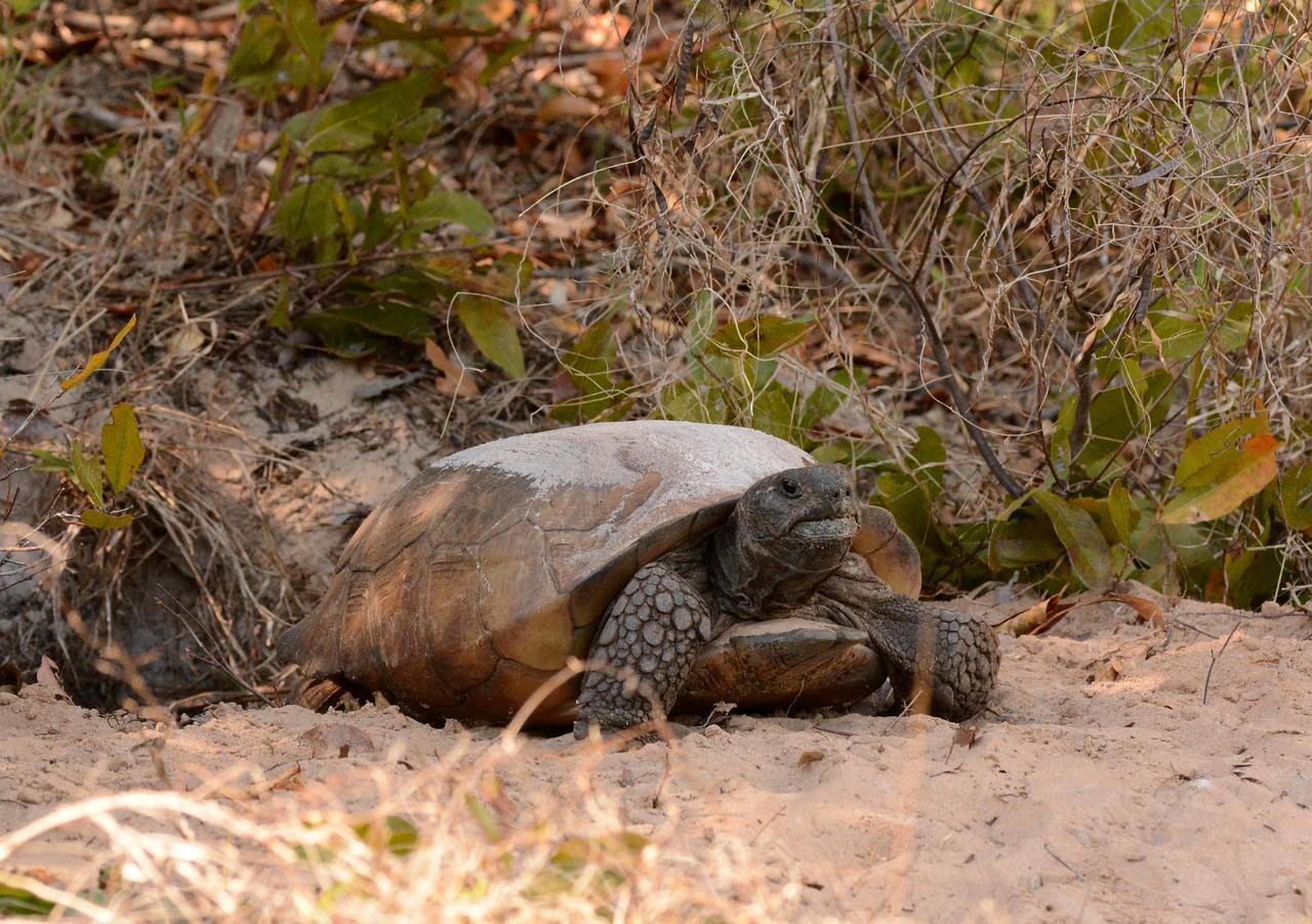 Gopher Tortoise -- Gopherus polyphemus, digs out Milton in Collier County, FL: