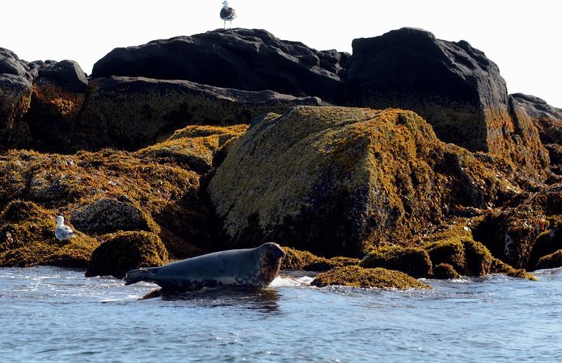Gray Seal -- Halichoerus grypus, around the midcoast of Maine with Robinson Jeffers: