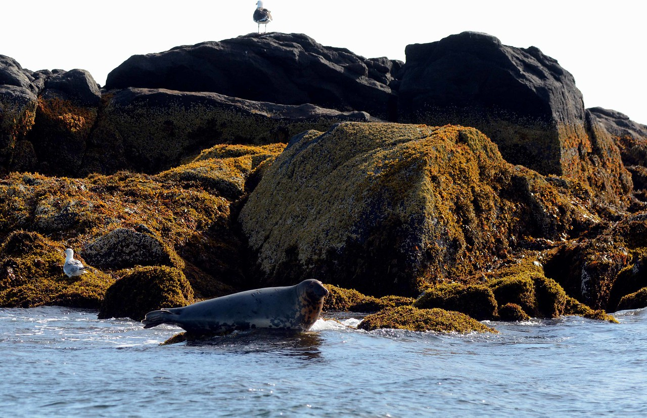 Gray Seal -- Halichoerus grypus, at the ledges just off Monhegan Island, ME.<br /> <br /> 'That our senses lie, and our minds trick us is true, but in general